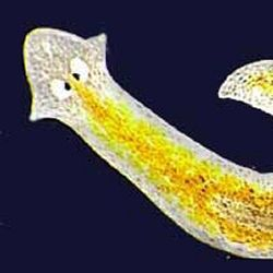 aparatul reproductiv platyhelminthes)