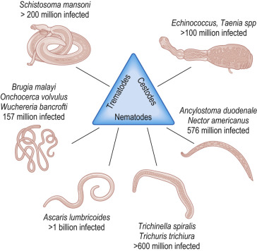 helminth immunity