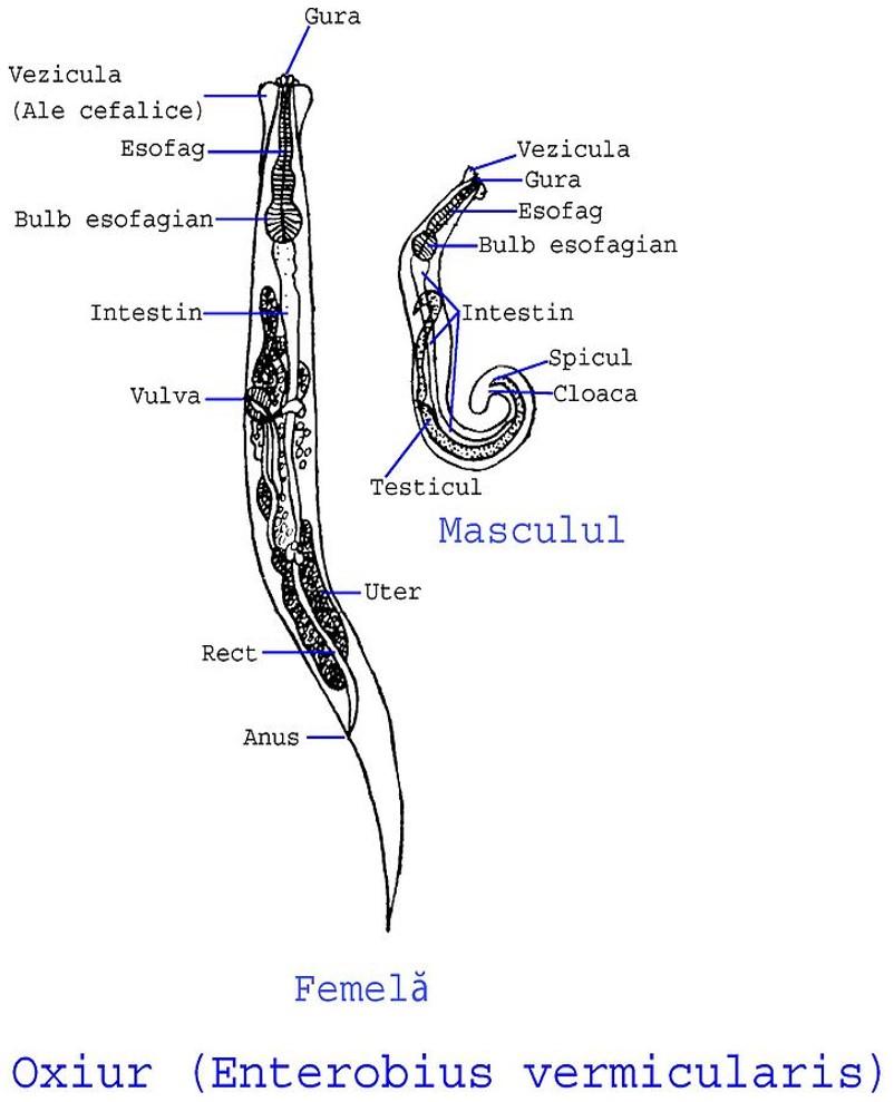 Enterobius vermicularis terápia, Mik azok a bélférgek?
