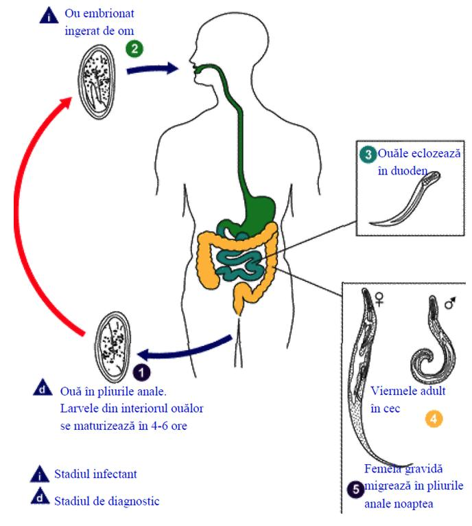 simptomele medicamentelor de vierme