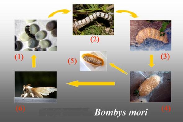 ciclul de viață al viermilor la om
