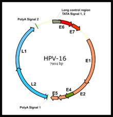 papillomavirus hpv 16 18