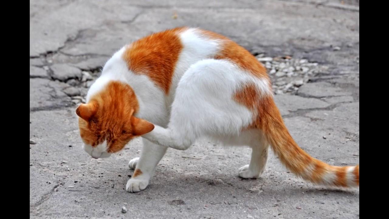 plucni paraziti kod macaka