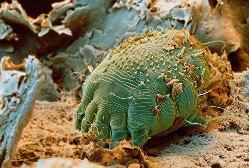 apicomplexan paraziți complex apical paraziți de șoarece