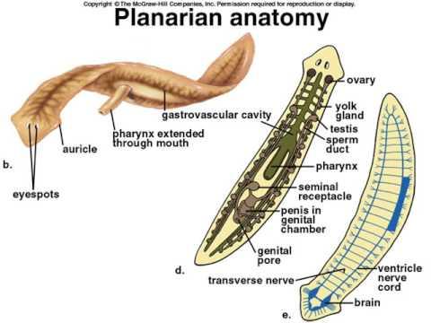 FISWAN Filum Platyhelminthes | Protostomes | Organisms
