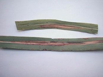 Calaméo - Diagnosticarea accidentelor la cultura porumbului