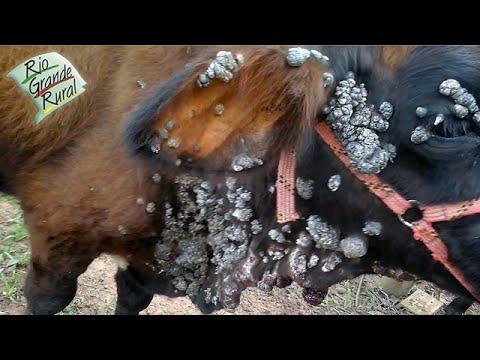 papiloma virus en bovino