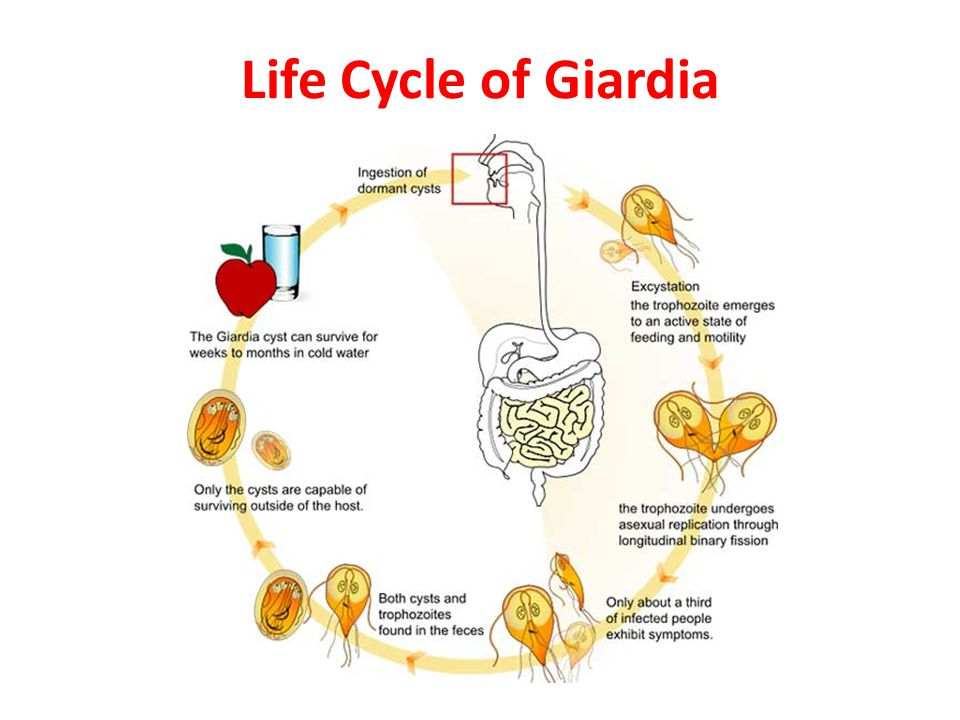 giardia besmetting mens vacuna giardia efecte secundare