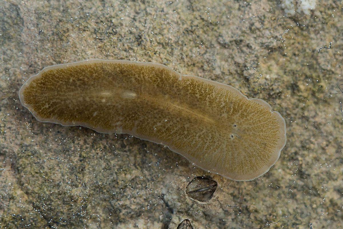 cum să controlezi viermii încrucișați