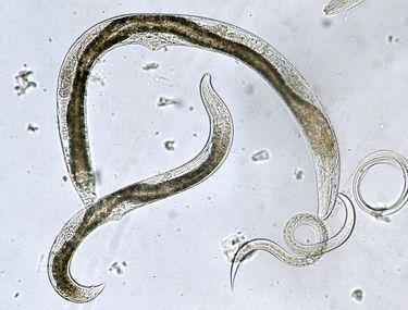 paraziti solutie mms