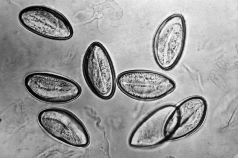vierme rotunde în hering