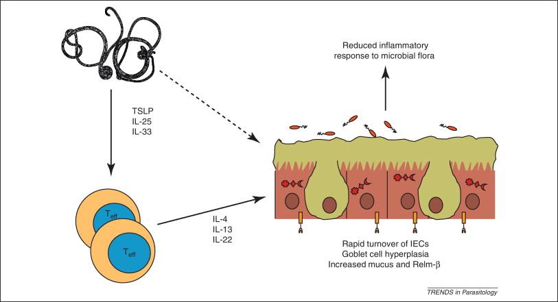 Autoimmune disease helminth therapy, Helminth infection autoimmune disease