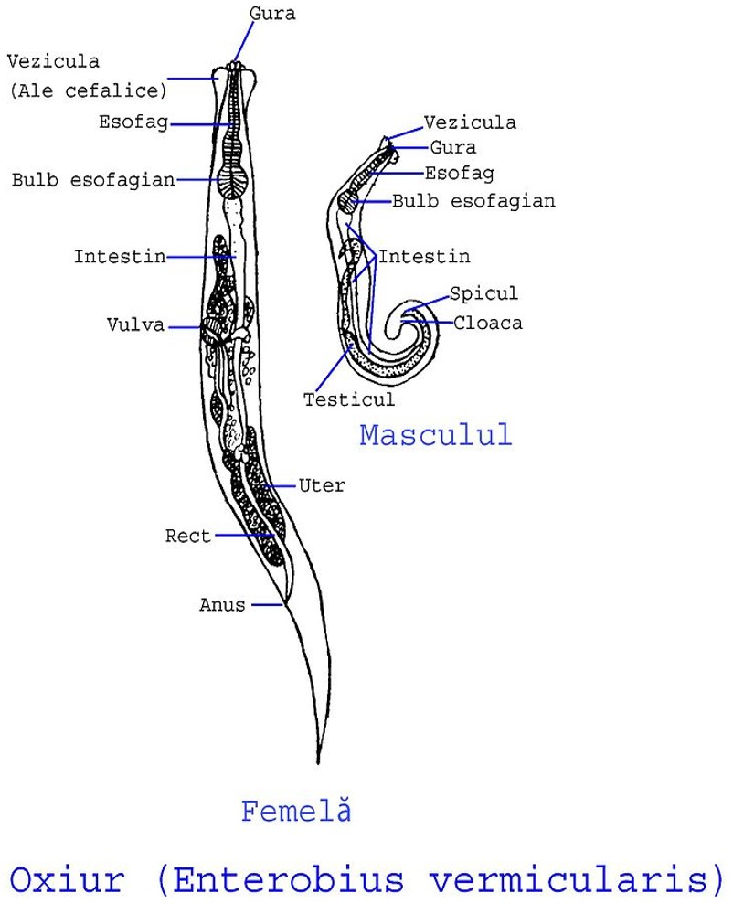 enterobius vermicularis fisiopatologia