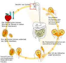 giardiasis therapie mensch