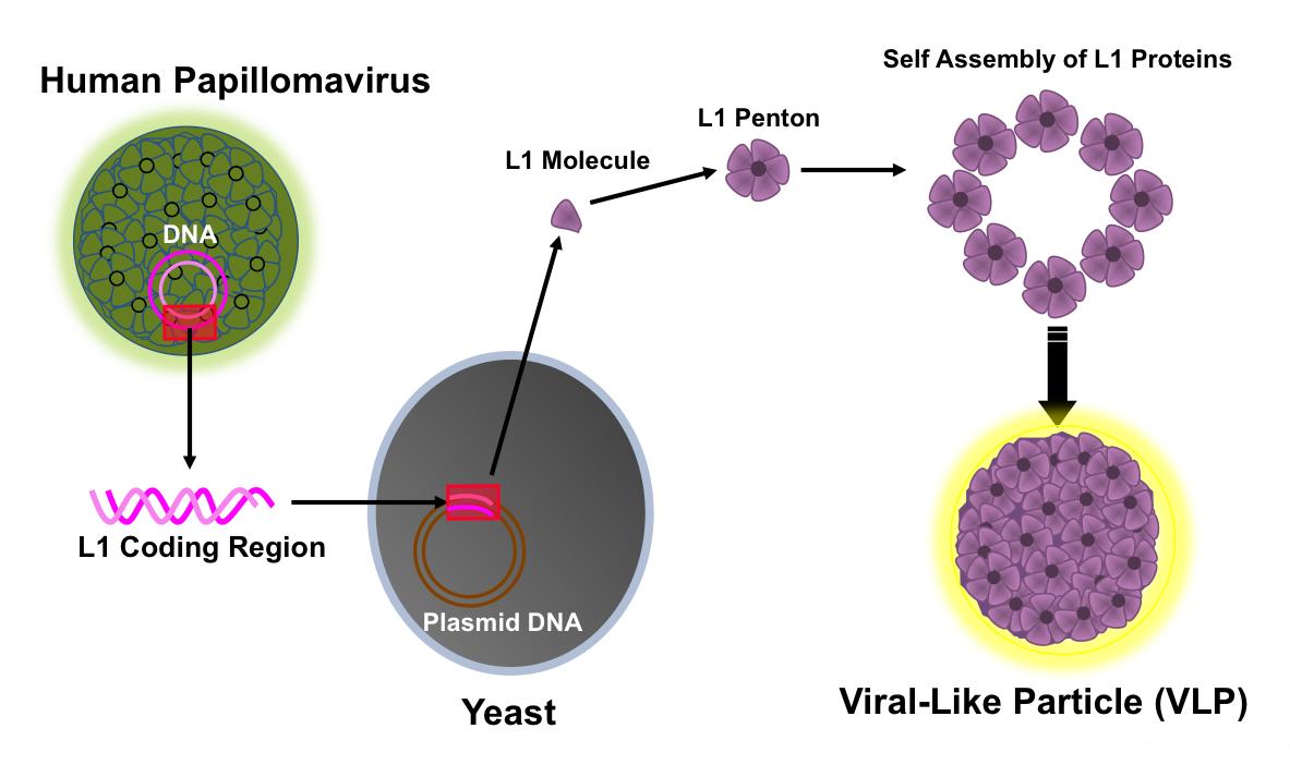 papillomavirus virus zone vph en la boca primeros sintomas
