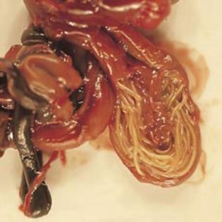 pericol în tratarea viermilor