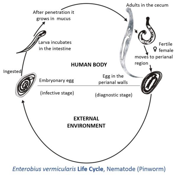 Gliste u stolici simptomi kod odraslih - Enterobius vermicularis glista