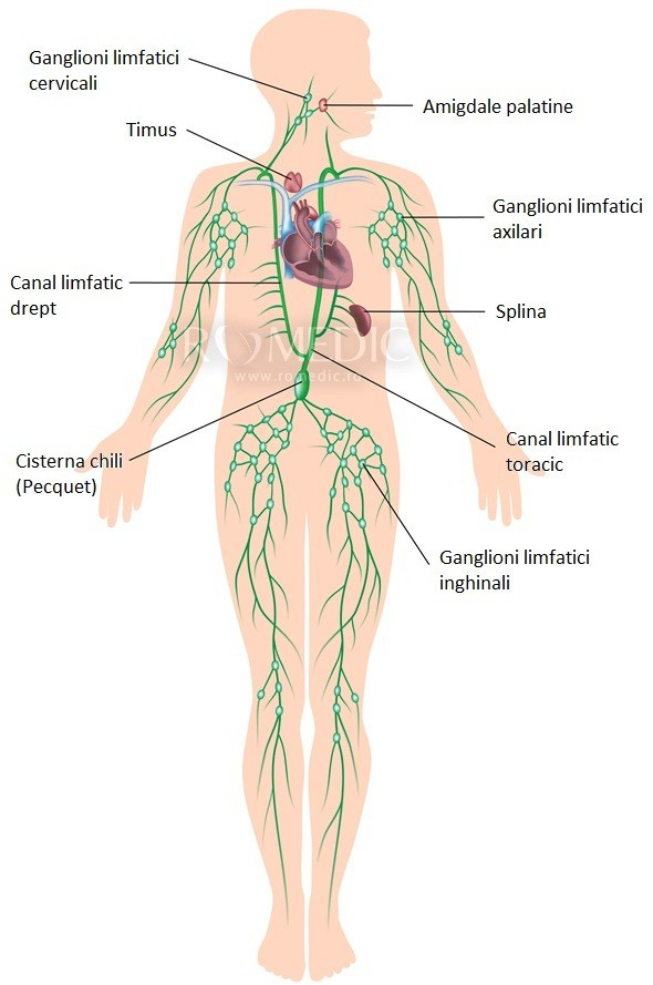 Ganglionii limfatici sunt viermi