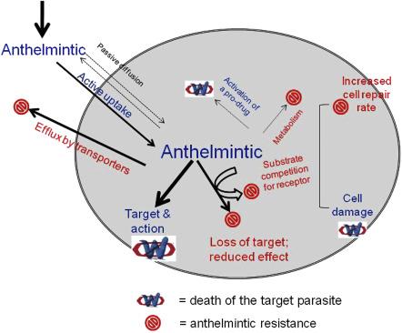anthelmintic mechanism of action coada de vierme în engleză