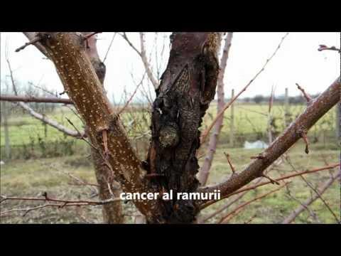 Cancerul nucului - Viermi, cum să te descurci cu ei