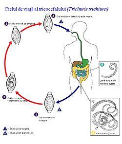 ciclu de dezvoltare pinworm