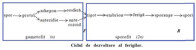 ciclul de viață al inelului uman taur lungimea viermei
