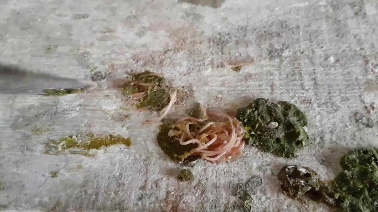 cum să curățați viermii la oameni