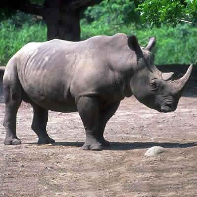 detectarea rinocerului