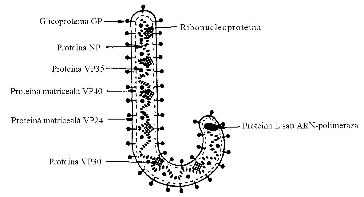 Osteonecroză (necroza avasculară, necroza aseptică)