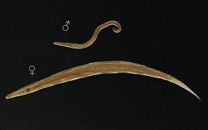 enterobius vermicularis in adults papilloma hayeren