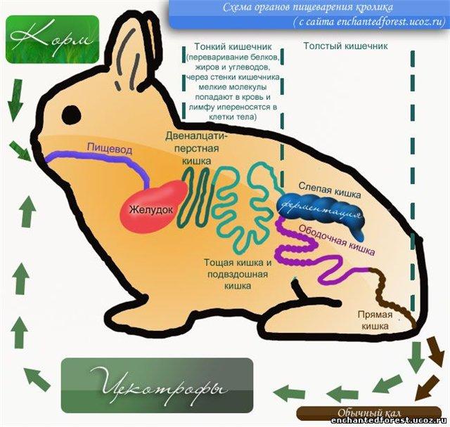 gaura de vierme pentru iepuri