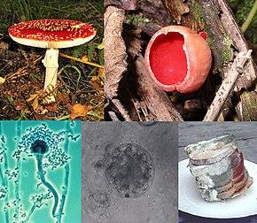 Influențat de paraziți fungi, Despre analiză - Coprocultură