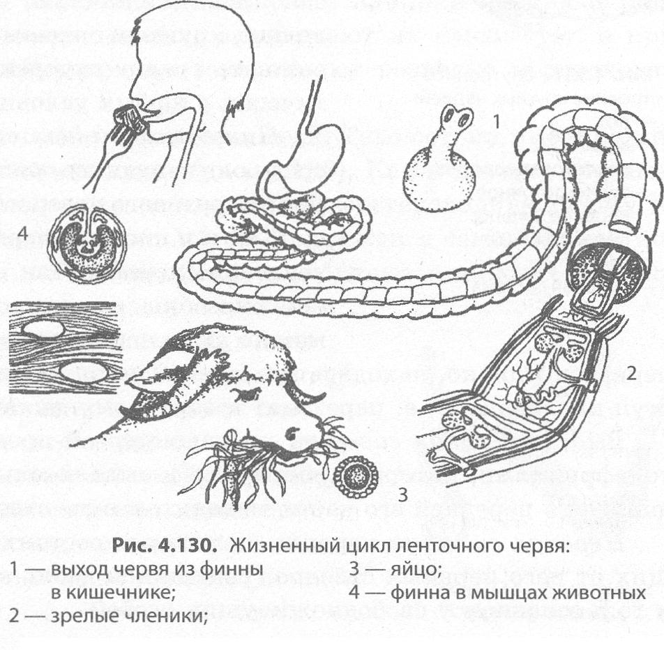 Viermi si paraziți intestinali – tipuri, simptome, tratament Organele de atașare au vierme