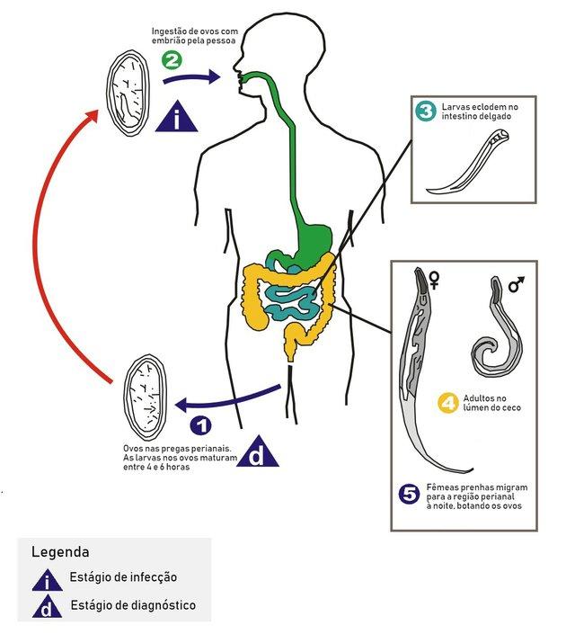 oxiurus e diarreia papillomavirus cancer genital