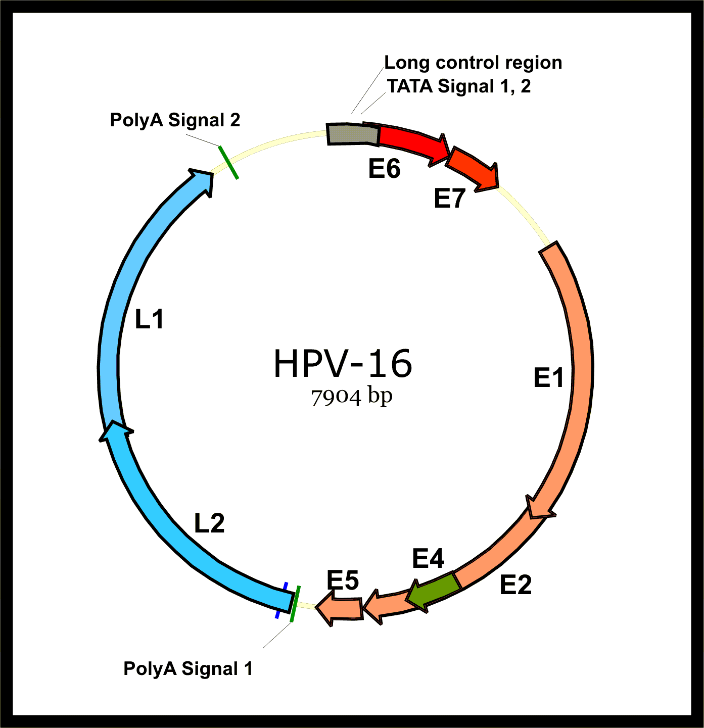 papilloma virus hpv 16 hpv and penile cancer