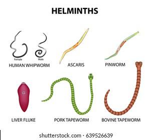 parasitic helminth species
