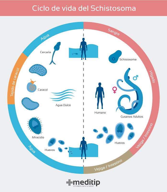 vierme în urină