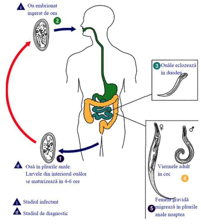 model de dezvoltare pinworm