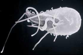 simptom de giardien mensch les cestodes paraziti de l homme