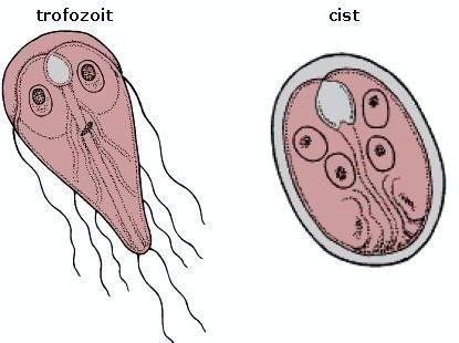 giardia parasiet bij honden nemathelminthes clasice și contohnya