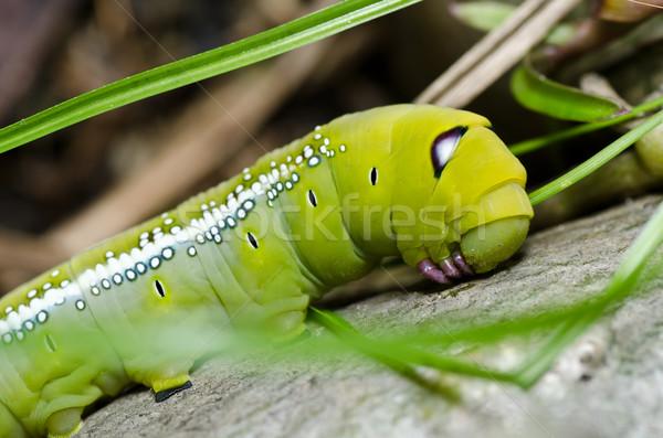 vierme mare verde)