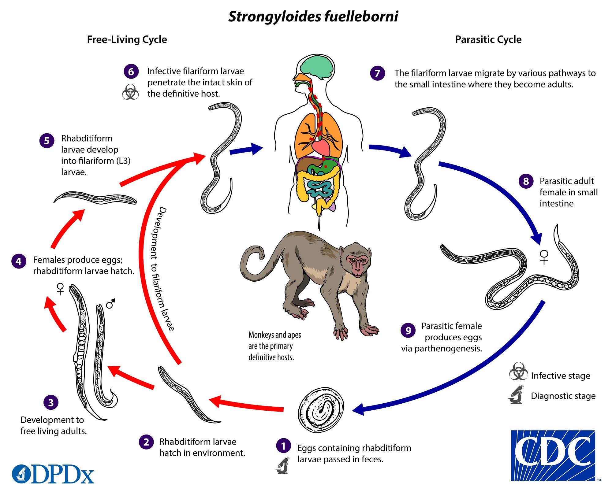 anticorpi împotriva giardiei și nematodelor parazitii betiv hanorac