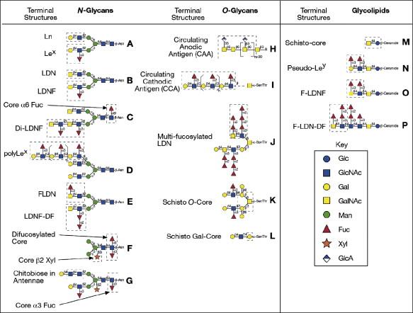 parasitic helminths glycans giardia simptome sarcina