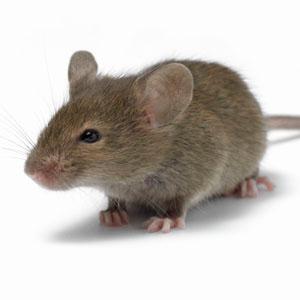 paraziți de șoarece medicamente pentru corespondența de vierme