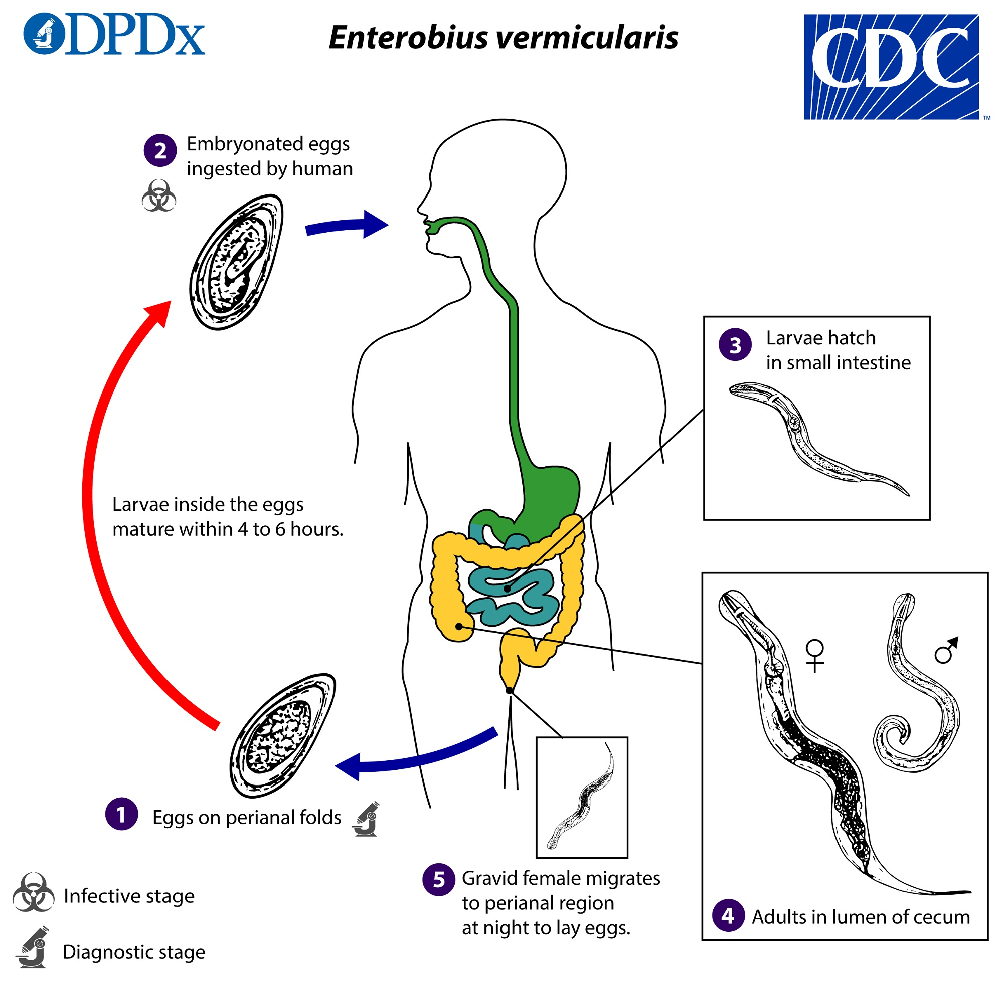 enterobius vermicularis genus medicamente pentru corespondența de vierme