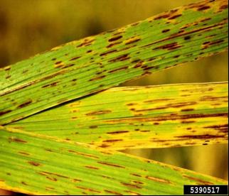 helminthosporium oryzae padi cum arată enterobioza