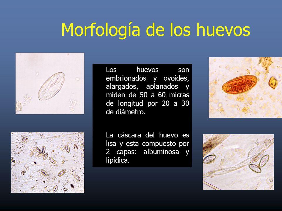 enterobius vermicularis reproduccion condyloma acuminatum libre pathology