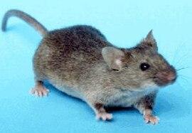 paraziți de șoarece papilloma condilomi uomo