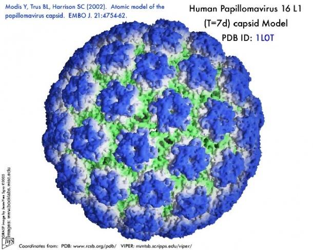 papillomavirus virus model