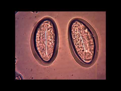 enterobiaza rea dimensiunea viermilor de helminth